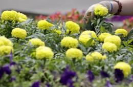 Россельхознадзор отмечает ухудшение с поставками цветов в России