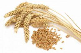 Экспорт зерна разрушает экономику Казахстана