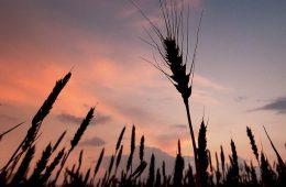 Пшеницу побило рублем