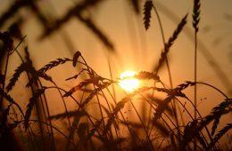 Минсельхоз намерен увеличить число покупателей российского зерна