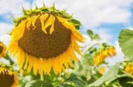 Своевременная защита подсолнечника — залог хорошего урожая.